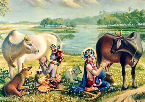 Krsna and balarama milking cows